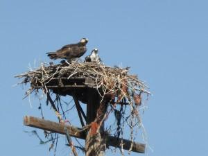 Ospreys nesting just outside Dillon